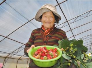 """草莓种植— """"甜蜜""""白纳村"""